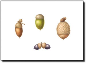 A Selection of Acorns