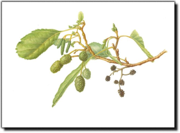 European Alder - Alnus glutinosa