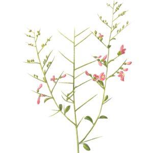 Camelthorn - Alhagi camelorum