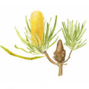 Candlestick Banksia - Banksia attenuata