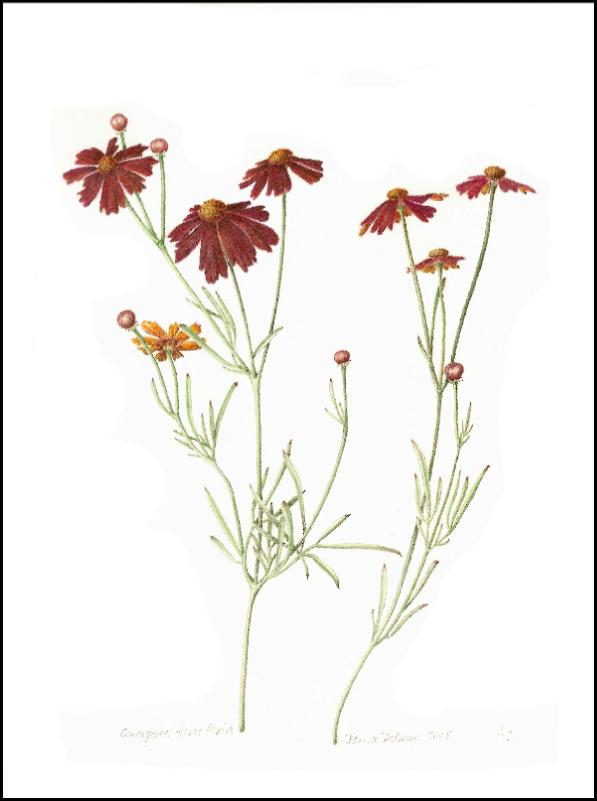 Coreopsis tinctoria Print