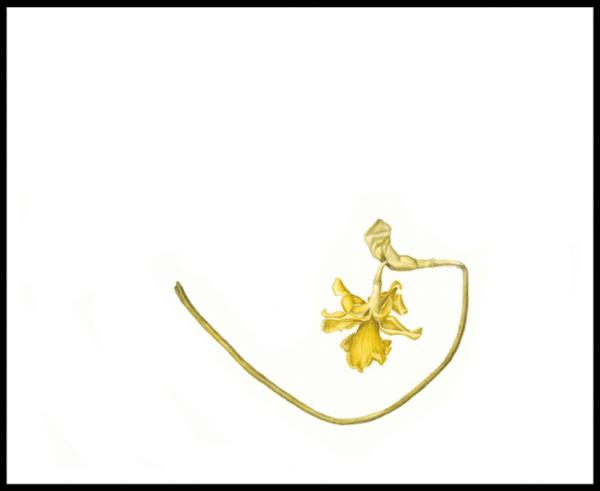 Daffodil that was Print