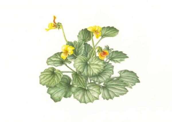 Goosefoot Violet - Viola purpuvea