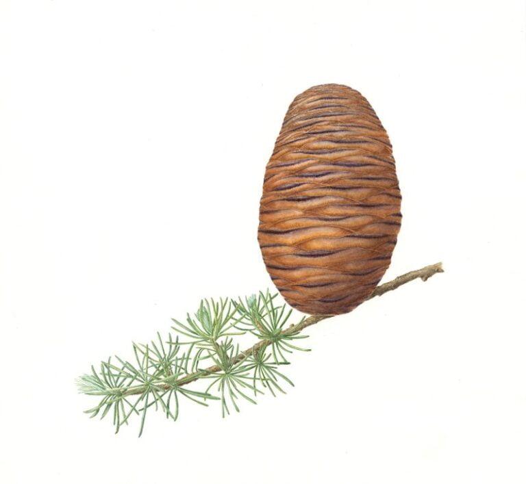 Himalayan Cedar