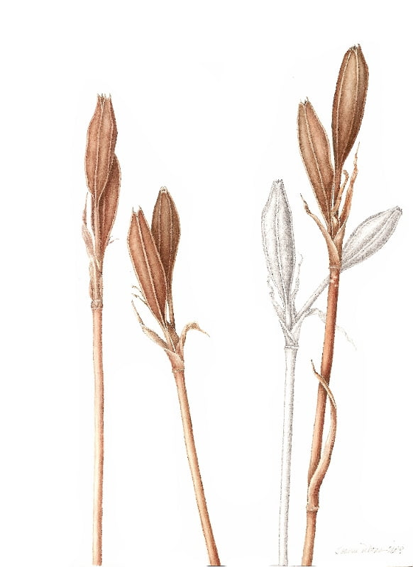 Iris Pods