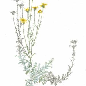 Oregon Sunshine - Eriophyllum lanatum