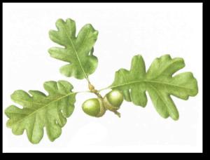 Oregon White Oak - Quercus garryanna