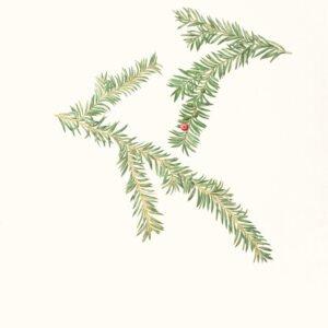Pacific Yewp