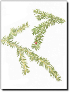 Pacific Yew - Taxus brevifolia