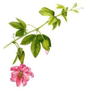 Passiflora sps