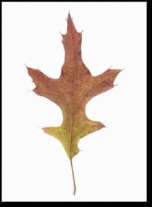 Pin Oak Leaf - Quercus palustris