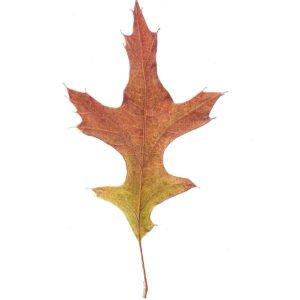 Pin Oak Leaf