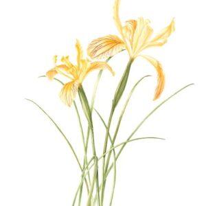 Siskiyou Iris - Iris bracteata