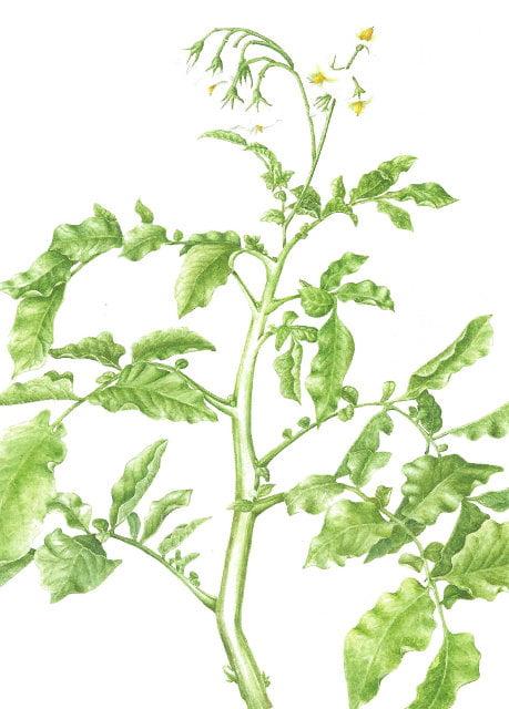 Solanum tuberosum - Premier