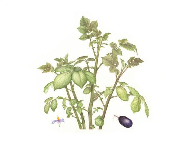 Solanum tuberosum - Purple Majesty