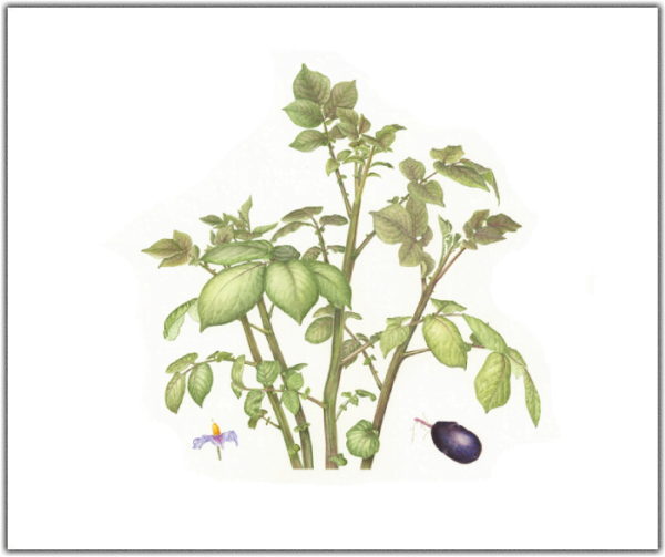 Solanum tuberosum - Purple Majesty Print