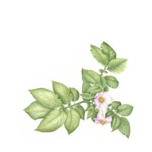 Solanum tuberosum - Rio Grande
