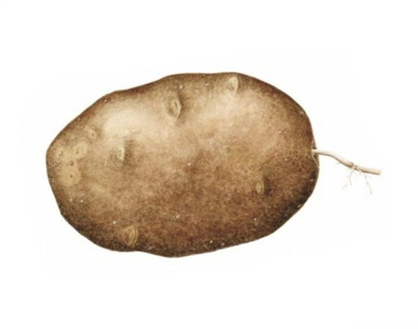 Solanum tuberosum - Russet #2