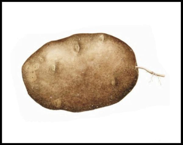 Solanum tuberosum - Russet #2 Print