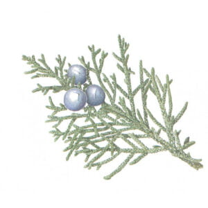 Western Juniper - Juniper occidentalis