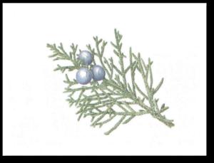 Western Juniper - Juniper occidentalis