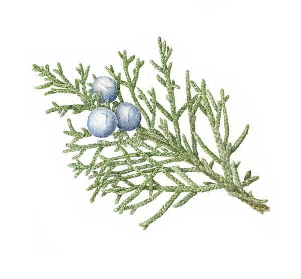 Western Juniper - Juniperus occidentalis