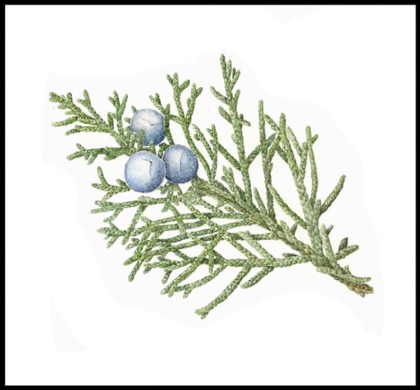 Western Juniper - Juniperus occidentalis Print