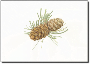 Whitebark Pine - Pinus albicaulis
